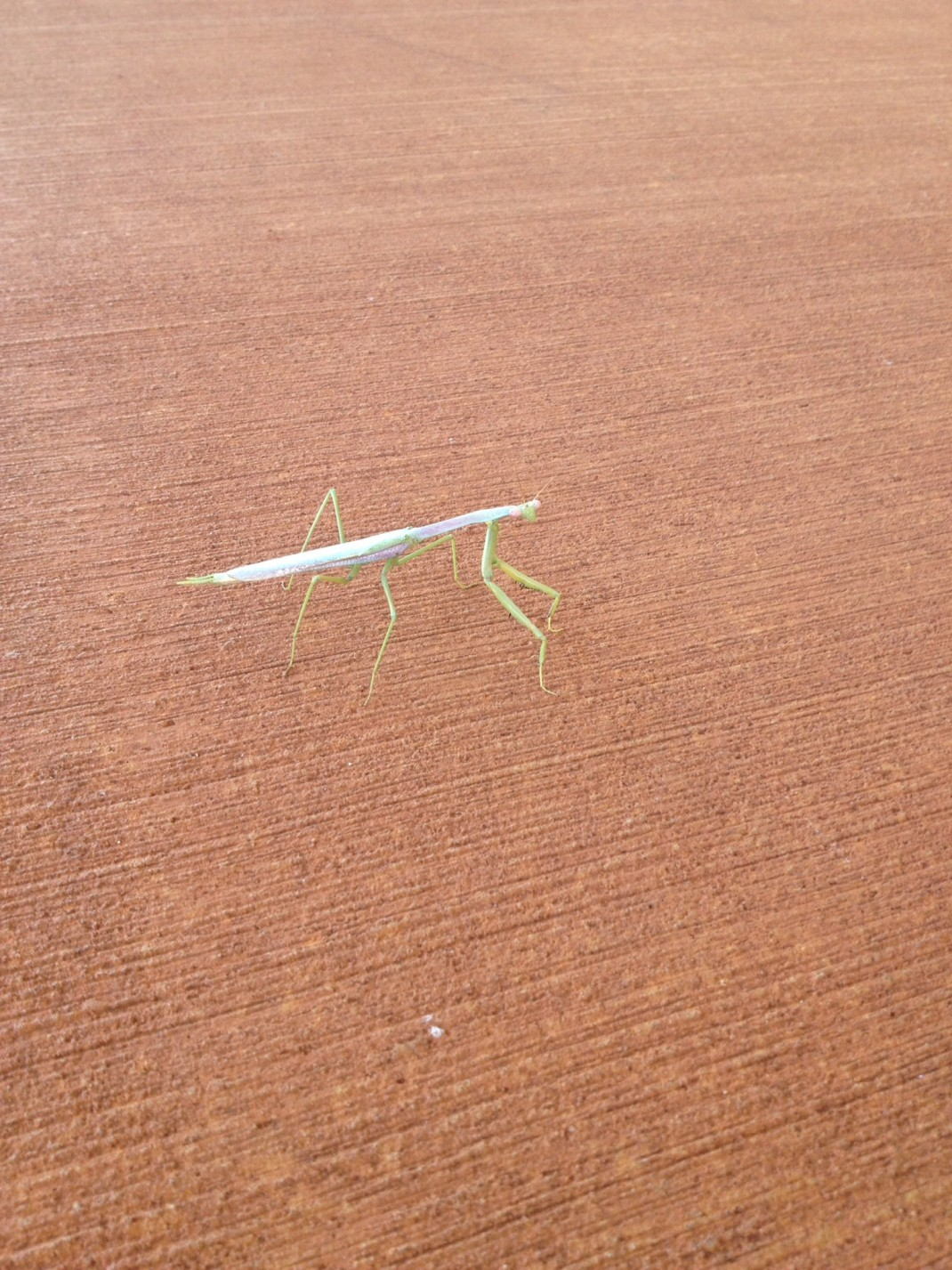 Picture of a Praying Mantis, Australia