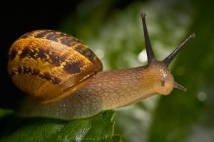 Picture of Garden Snail by karldawson borrowed from his website http://karldawson.deviantart.com/art/Garden-Snail-193249320