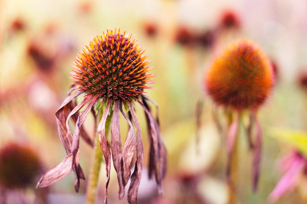 Picture of Echinacea purpurea 'Maxima' looking beautiful dead, at Birmingham Botanical Gardens