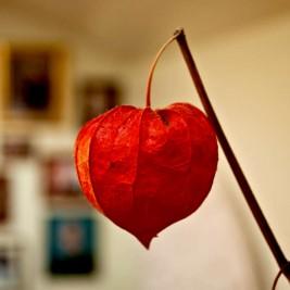 Chinese Lantern Heart