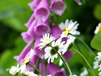 daisy-and-foxglove