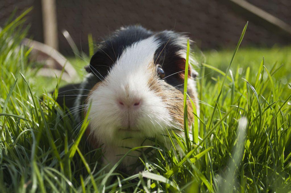 Guineapig grass